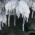 Winter Branches In Ice by Elena Elisseeva