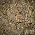 Winter Cardinal by Brad Marzolf Photography
