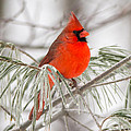 Winter Cardinal by Richard Kitchen