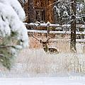Winter Doe by Steve Krull