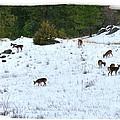 Winter Grazing by Will Borden