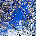 Winter Trees And Blue Sky by Elena Elisseeva