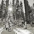 Winter Wonderland - Badger Pass In Yosemite National Park by Jamie Pham