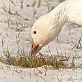 Wintering Snow Goose by Robert Frederick