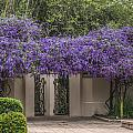Wisteria Arbor by Jane Luxton