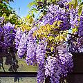 Wisteria Garden 8 by Jenny Rainbow