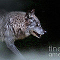Wolf On The Prowl by Louise Heusinkveld