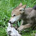 Wolf Pup by Amanda Stadther