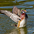 Wood Duck Drake Flapping Wings by Anthony Mercieca