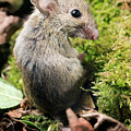 Wood Mouse by John Devries/science Photo Library