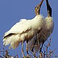 Wood Stork Courtship Display by Millard H. Sharp
