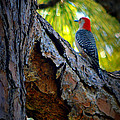 Woodpecker by Barbara Fonseca