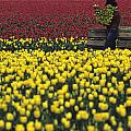 Worker Carrying Tulips by Jim Corwin