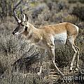 Wyoming Pronghorn by Ronald Lutz