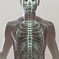 X-ray Skeleton by Science Picture Co
