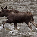 Yearling Moose In The Shoshone River   #1289 by J L Woody Wooden