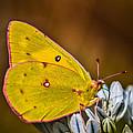 Yellow Beauty by Mitch Shindelbower