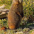 Yellow Bellied Marmot On Alert In  Rocky Mountain National Park by Fred Stearns