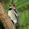 Yellow-bellied Sapsucker by Anthony Mercieca
