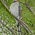 Yellow-billed Cuckoo by Anthony Mercieca