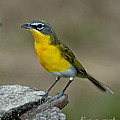 Yellow-breasted Chat by Anthony Mercieca