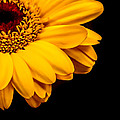 Yellow Gerbera Daisy by Xenia Headley