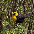 Yellow Headed Black Bird by Fred Stearns