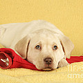 Yellow Labrador Puppy by John Daniels