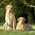 Yellow Labrador Retrievers by John Daniels