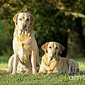 Yellow Labrador Retrievers by John Daniels
