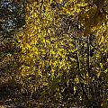 Yellow Leaves by Edward Peterson