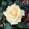Yellow Rose At Dawn by Alys Caviness-Gober