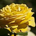 Yellow Rose by Steve Purnell