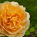 Yellow Rose by Tikvah's Hope