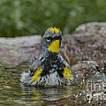 Yellow-rumped Warbler by Anthony Mercieca