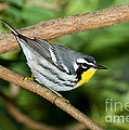 Yellow-throated Warbler by Anthony Mercieca
