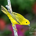 Yellow Warbler Dendroica Petechia by Anthony Mercieca