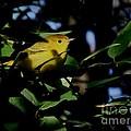 Yellow Warbler by Jack R Brock