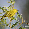 Yellow Warbler by Ronald Lutz