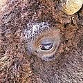 Yellowstone Bison by Bob Kinnison