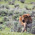 Bison Calf by Michael Chatt