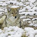 Yellowstone Coyote by Carolyn Fox