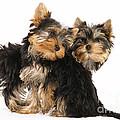 Yorkie Puppies by Jean-Michel Labat