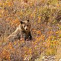 Young Grizzly Bear by Brenda Jacobs