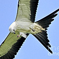 Young Swallow-tailed Kite by Barbara Bowen