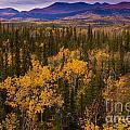 Yukon Gold - Fall In Yukon Territory Canada by Stephan Pietzko