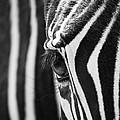 Zebra Eye by Lisa Cockrell