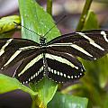 Zebra Heliconian Butterfly by Jack R Perry
