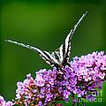 Zebra Swallowtail Butterfly Square by Karen Adams