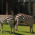 Zebra by Tinjoe Mbugus